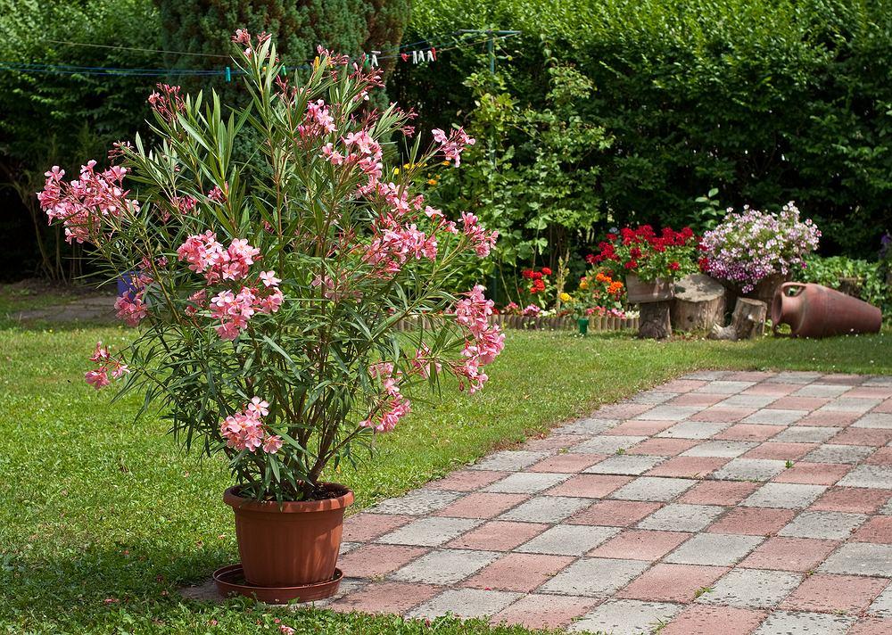 Kwiaty / rośliny niebezpieczne dla psa i kota: Oleander. Zdjęcie ilustracyjne