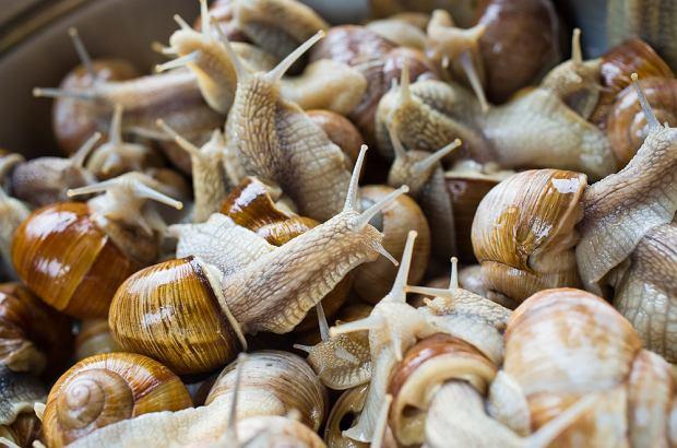 Pierwsze fermowe hodowle ślimaków w Polsce powstały w latach 90. XX wieku. Na fermach hodowlanych utrzymywane są głównie ślimaki szare.