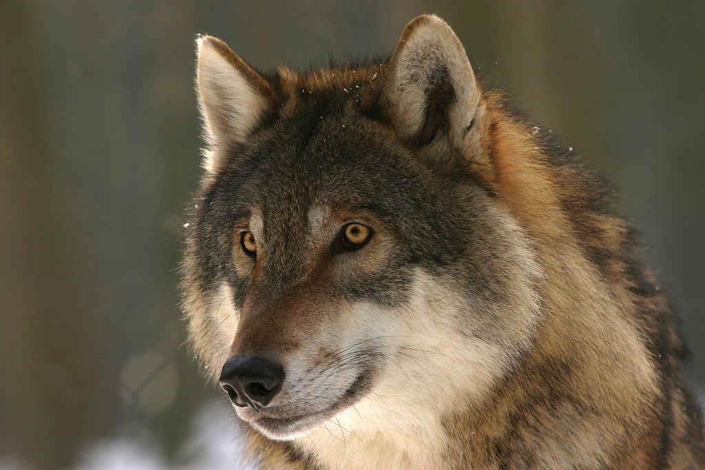Sennik: wilk. Co zwiastuje pojawiające się we śnie zwierzę? Zdjęcie ilustracyjne