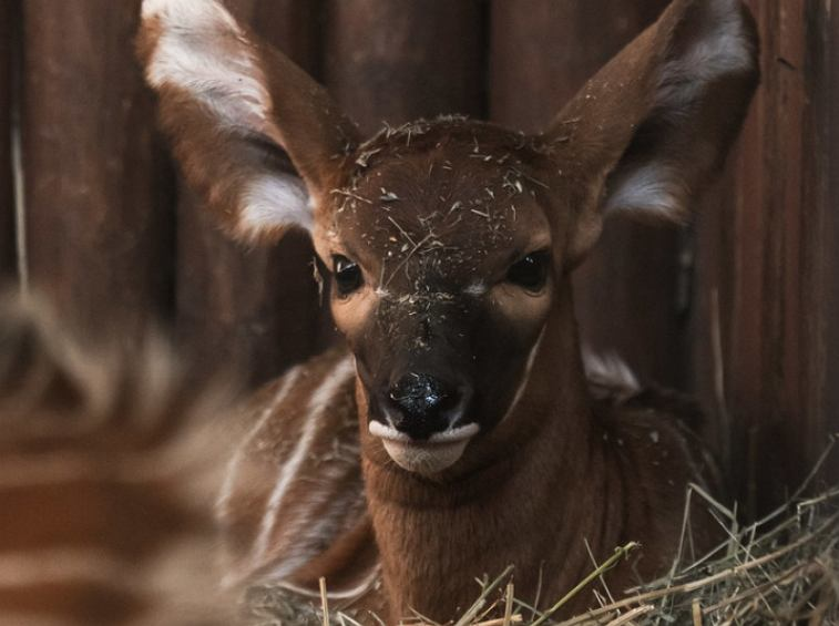 Antylopa bongo, która urodziła się w warszawskim zoo