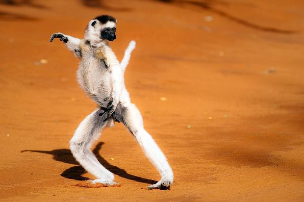 A Verreaux's Sifaka on the ground.