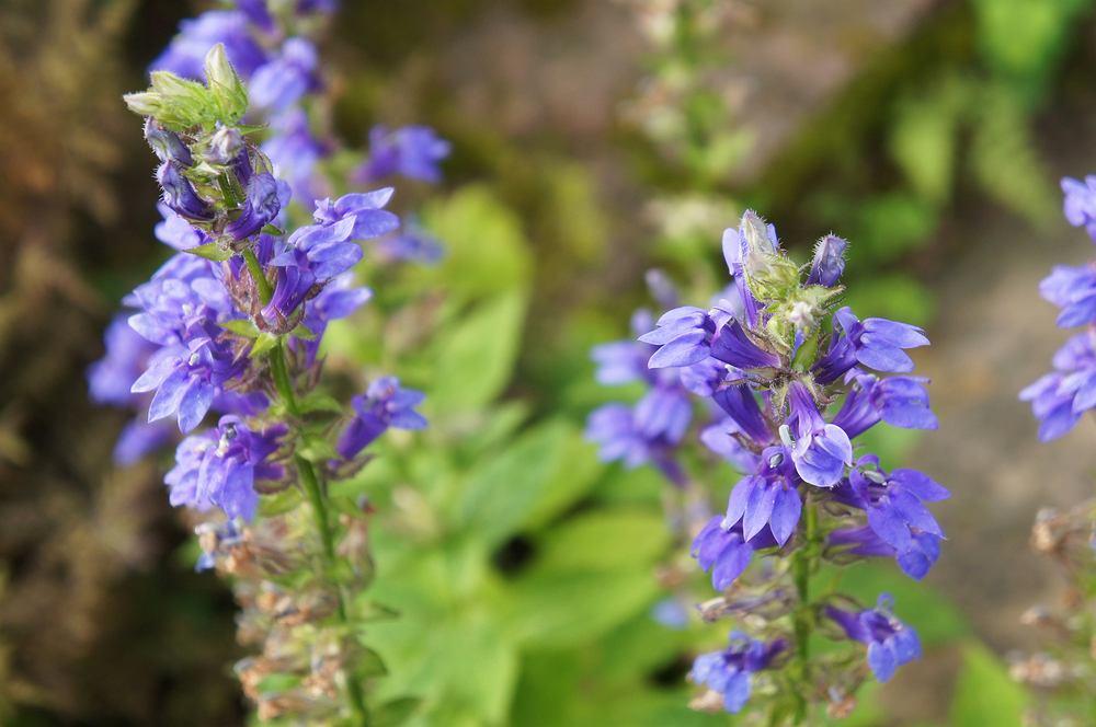 Hyzop lekarski, nazywany także józefkiem lub józefką, to niewielki krzew pochodzący z Afryki, ale występujący także w Polsce