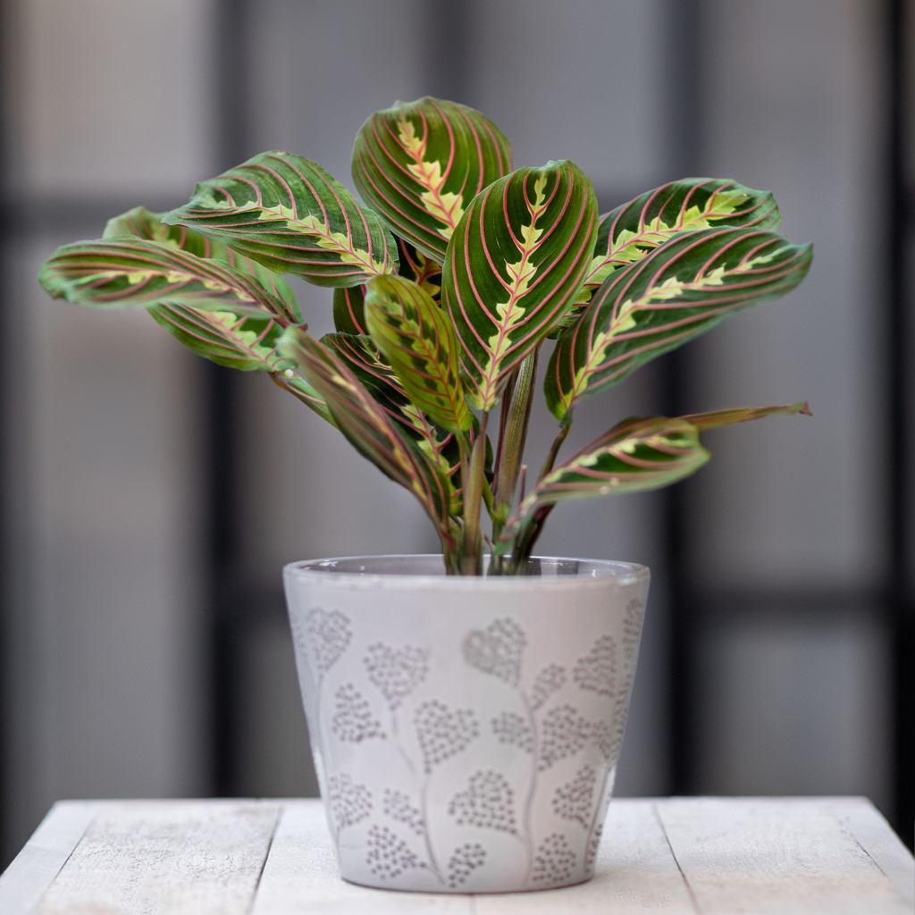 Maranta to bardzo wymagająca roślina. Zdjęcie ilustracyjne