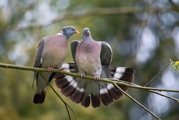 Ptaki, które odlatują na zimę - gołąb grzywacz. Zdjęcie ilustracyjne