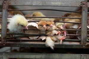Ponad 140 naukowców wzywa Komisję Europejską do zakazania hodowli klatkowej