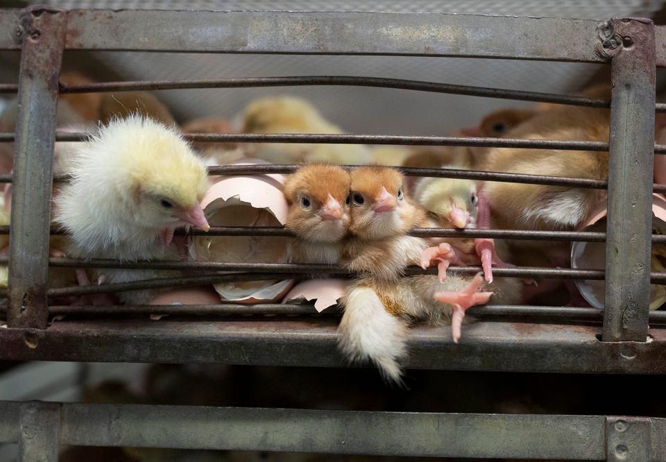Zdjęcie numer 1 w galerii - Ponad 140 naukowców wzywa Komisję Europejską do zakazania hodowli klatkowej