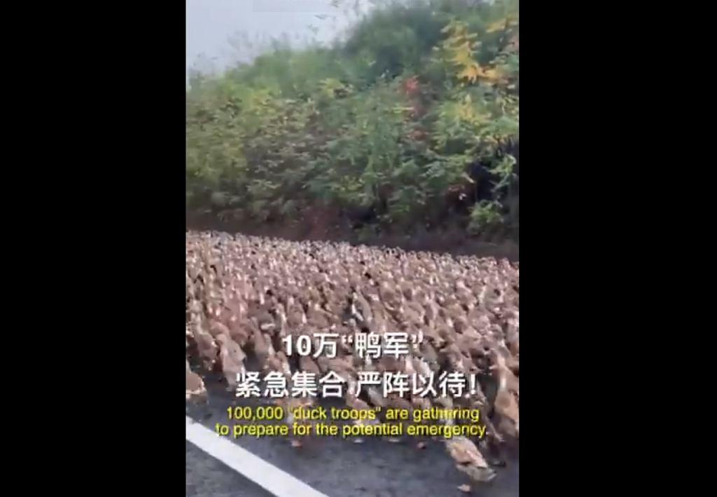Armia kaczek szykuje się na 'wojnę' z szarańczą