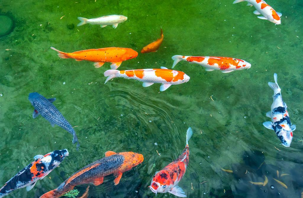 Ryby do oczka wodnego.