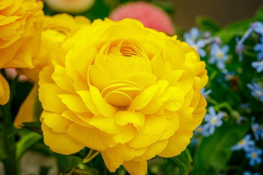 Żółty Jaskier w ogrodzie