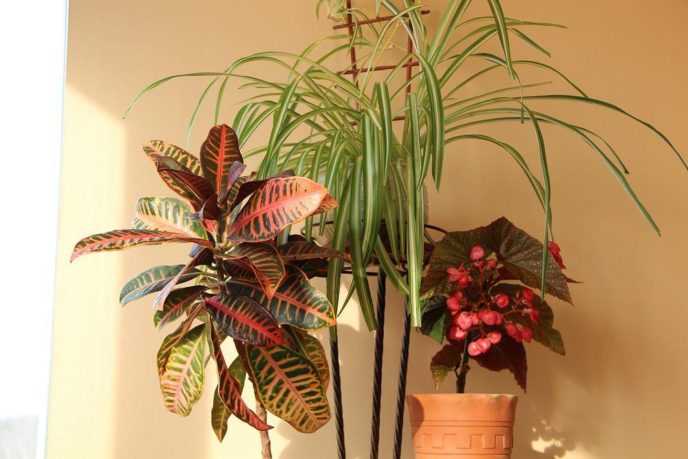 Kroton - pielęgnacja, podlewanie. Poznaj potrzeby popularnej rośliny ozdobnej. Zdjęcie ilustracyjne
