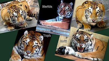 Tygrysy, które pojadą z poznańskiego ZOO do hiszpańskiego azylu