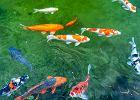 Jakie ryby do oczka wodnego wybrać?