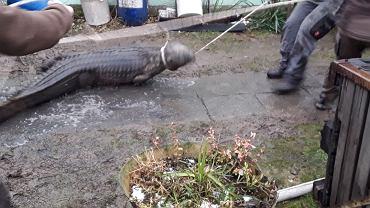 Przyjechali gasić pożar, znaleźli... krokodyla! 'Trzymetrowy, żywy okaz'