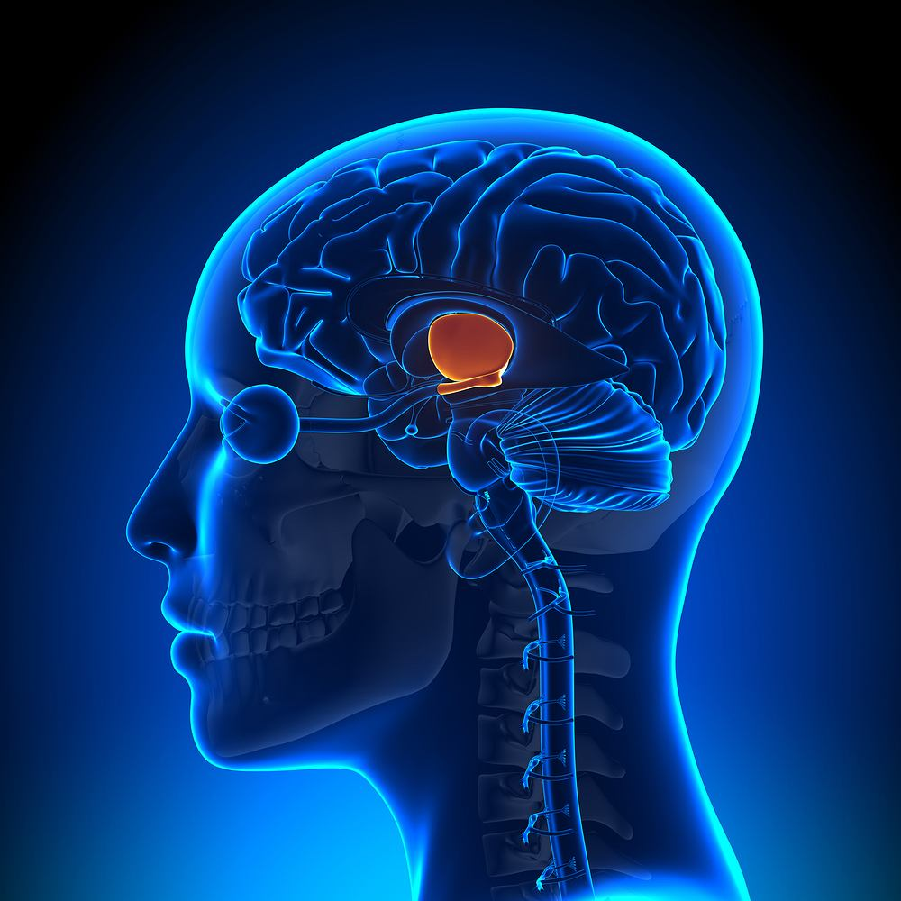 Podwzgórze znajduje się w części podkorowej mózgu i zaliczane jest do międzymózgowia