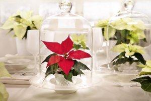 Ozdoby świąteczne: gwiazda betlejemska
