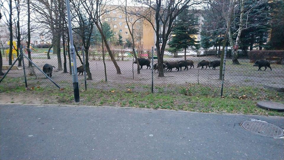 Dziki w ogródku przedszkolnym w Poznaniu