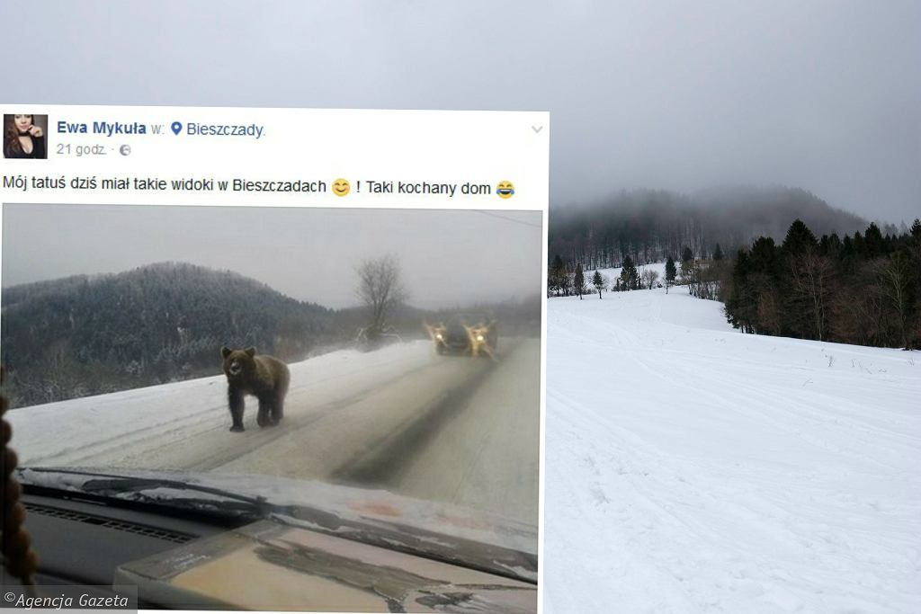 Niedźwiedź na drodze; Bieszczady
