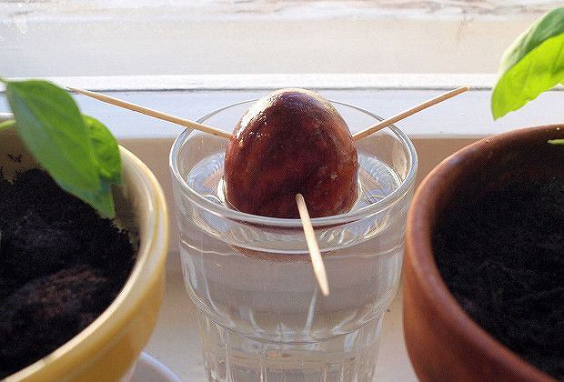 The beginnings of an Avocado tree?