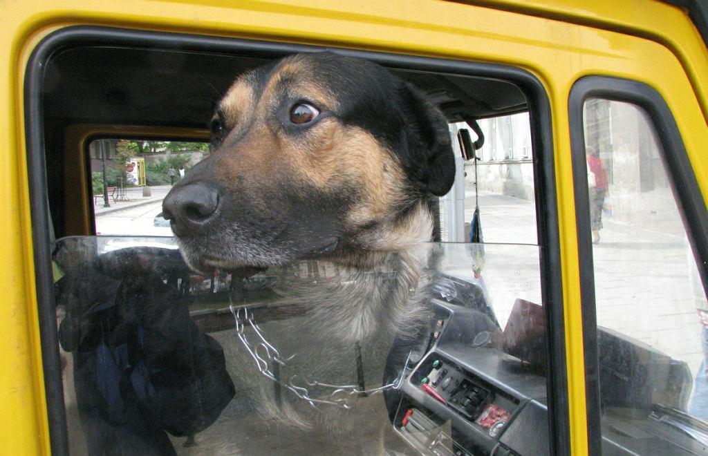 Pies w aucie
