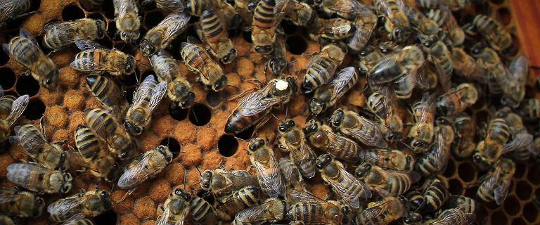 W pasiekach pojawił się zgnilec amerykański. Pszczoły z żoliborskich uli przeniesione
