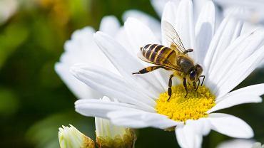 Pszczoła potrafi poczuć woń kwiatu oddalonego od niej o kilka kilometrów