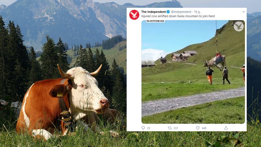 Szwajcaria. Chora krowa została przetransportowana śmigłowcem