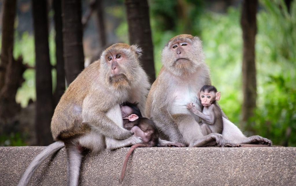 Jeden z dwóch najważniejszych układów grupowych krwi swoją nazwę zawdzięcza makakom królewskim, na których odkrywcy układu Rh przeprowadzali eksperymenty