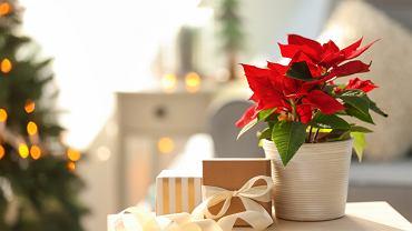 Gwiazda betlejemska to roślina, która jest symbolem świąt Bożego Narodzenia. Zdjęcie ilustracyjne