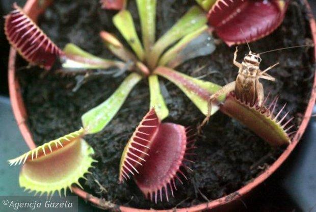 Świerszcz uwięziony w roślinie mięsożernej
