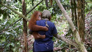 Orangutany to jeden z najbardziej zagrożonych wyginięciem gatunków. Na zdjęciu: Lekarz weterynarii Yenni Saraswati w ośrodku rehabilitacji orangutanów SOCP w Batu Mbelin, Sumatra, Indonezja, 4 lipca 2017