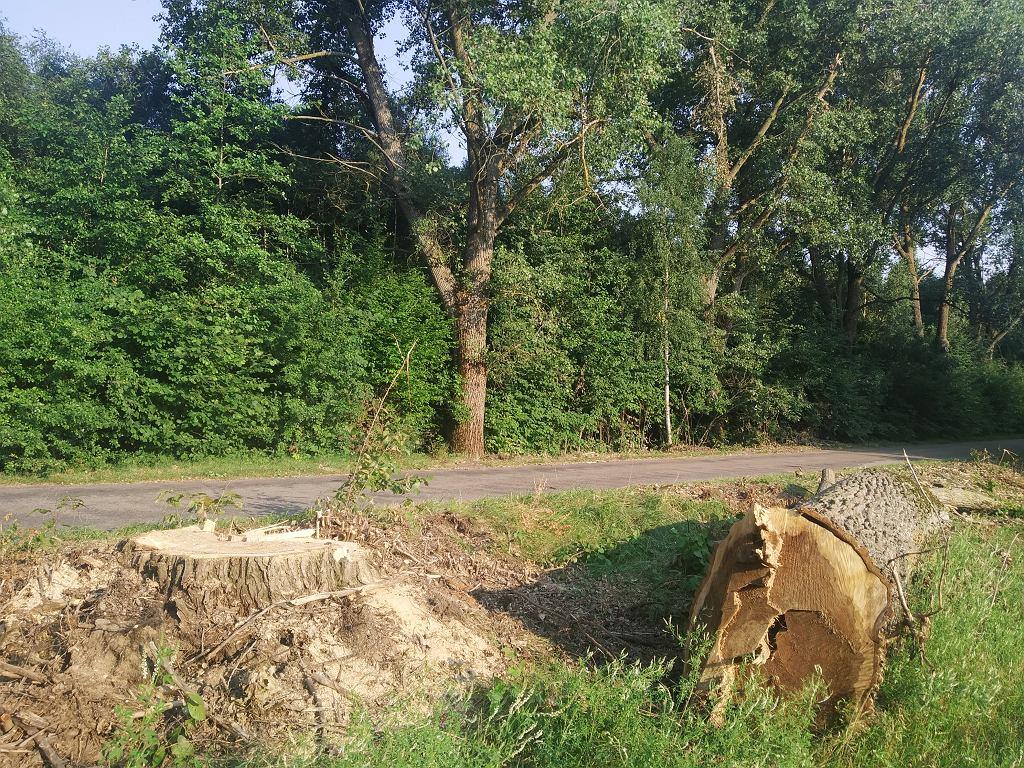 Drzewa wycięte przy drodze w gminie Kuźnica