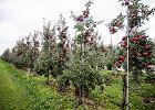Polska dławi się jabłkami. Jesteśmy trzecim największym sadem Europy i nie wiemy, co zrobić z owocami