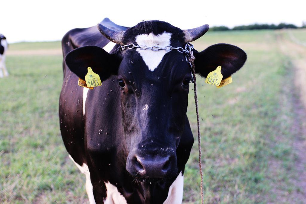 Europa zmniejsza sprzedaż antybiotyków dla zwierząt gospodarskich, Polska zwiększa. Jesteśmy w niechlubnej czołówce.