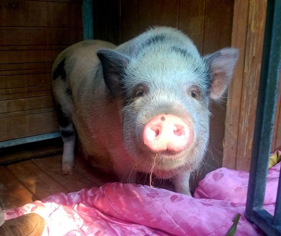 Błąkającą się samotnie świnkę zauważono w poniedziałek w okolicach parku Moczydło. Zwierzak trafił do schroniska na Paluchu i teraz czeka na właściciela.