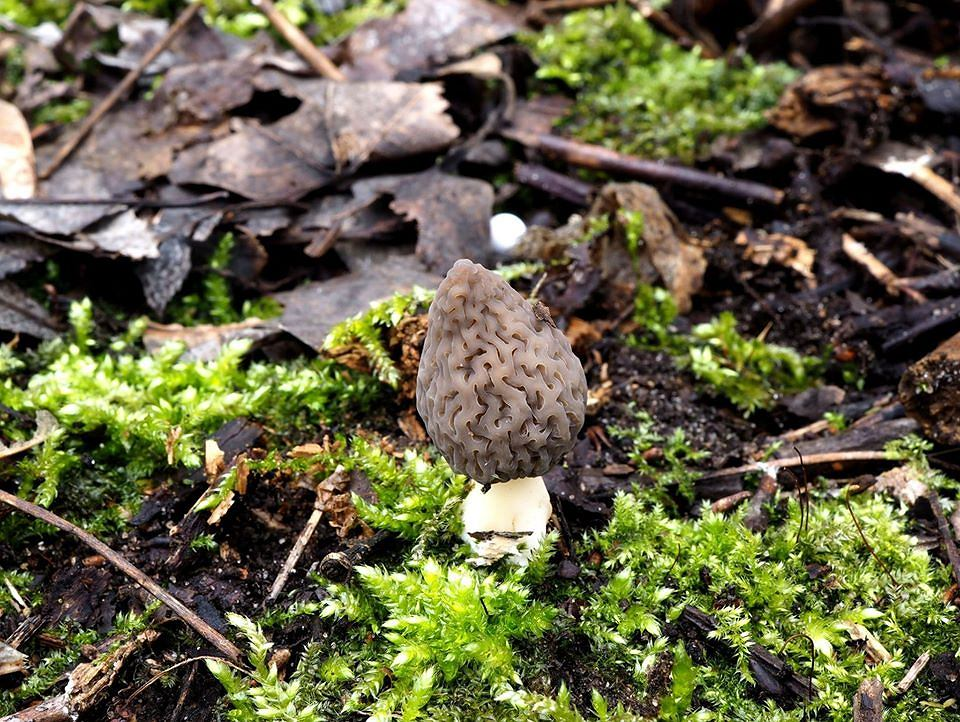 Zaczyna się sezon na grzyby. Pojawiają się pierwsze smardze, ale nie wszystkie można zbierać