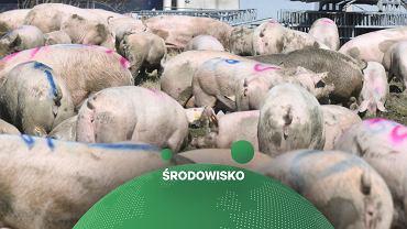 Hodowla świń (zdjęcie ilustracyjne)