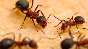Mrówki w domu. Domowe sposoby na pozbycie się tych intruzów. Co je odstrasza? (zdjęcie ilustracyjne)