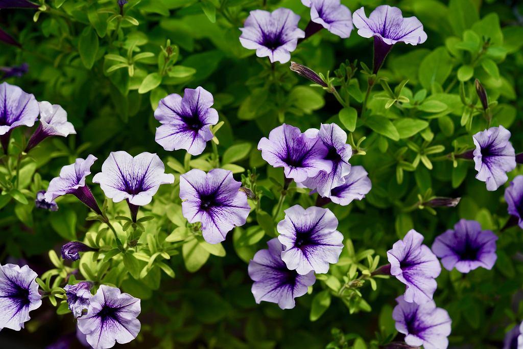 petunia (zdjęcie ilustracyjne)