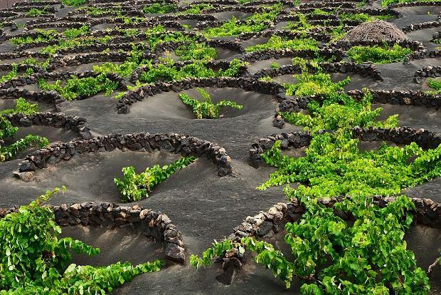 Uprawa winorośli na Lanzarote, Wyspy Kanaryjskie / fot. Shutterstock