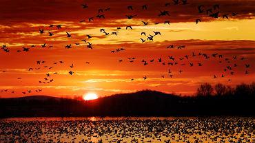 Jakie ptaki odlatują na zimę? Dowiedz się, które ptaki odlatują na zimę, a które zimują w Polsce. Zdjęcie ilustracyjne
