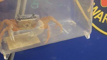 W pionie kanalizacyjnym znaleziono kraba