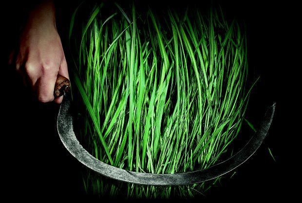 Trawę żubrową zbiera się od kwietnia do września - tymi samymi metodami co przed wiekami.