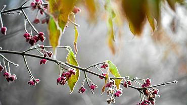 Zimni Ogrodnicy i Zimna Zośka. Co to takiego? Których dni maja dotyczy ten przesąd?