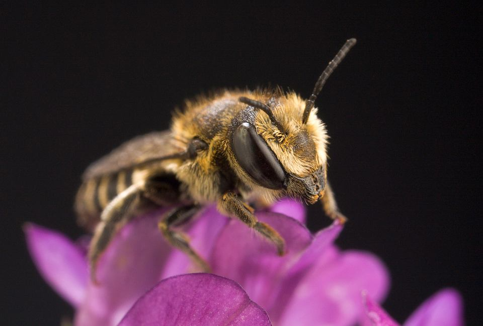 Pszczoła miesierka lucernówka (Megachile rotundata)
