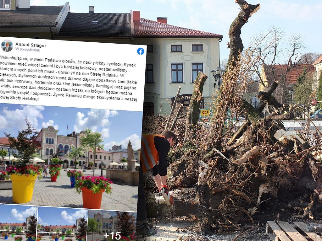 W 2015 roku wycięto drzewa na rynku w Żywcu