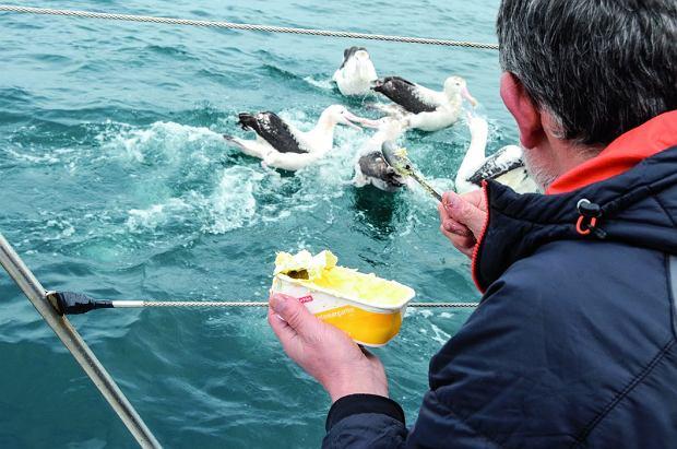 Karmienie albatrosów  wędrownych na Pacyfiku