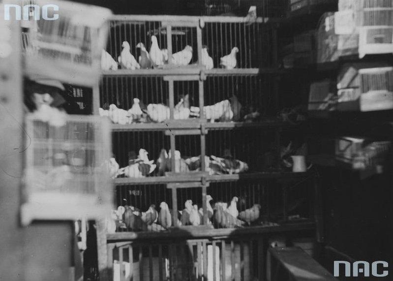Klatki z gołębiami na sprzedaż