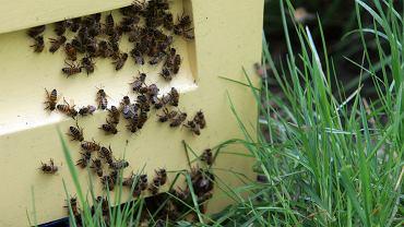 Zdjęcie ilustracyjne / Pod Wągrowcem wytruto pszczoły ze 140 uli
