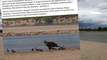 Sęp kasztanowaty w rezerwacie Wyspy Świderskie