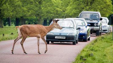 Jak pomóc rannemu zwierzęciu na drodze?